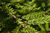 Fir branches and needles — Stock Photo