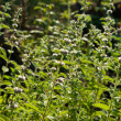 Mentha spicata (Spearmint, Spear Mint) — Stock Photo