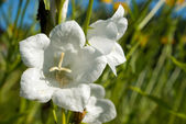 White bellflower — Stock Photo