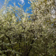 Blossoming cherry branches — Stock Photo #1494025