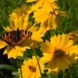 Small Tortoiseshell butterfly on Coreops — Stock Photo