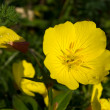 Evening primrose flowers — Stock Photo