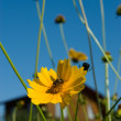 Stock Photo: Bee on coreopsis flower