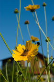 Bee on coreopsis flower — Stock Photo