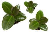 Ruuber 植物のフィカス — ストック写真