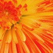 Colored chrysanthemum — Foto Stock