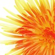 Macro of single chrysanthemum - Stock Photo
