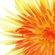 Stock Photo: Macro of single chrysanthemum