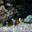 Orange clownfish — Stock Photo