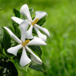 White flowers — Foto Stock
