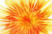 Yellow chrysanthemum on white — Stock Photo