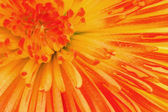 Colored chrysanthemum — Stock Photo