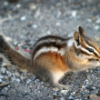 Royalty-Free Stock Photo: Chipmunk