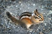 Chipmunk — Foto Stock