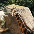 Baringo Giraffe - Stock Photo