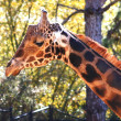 Stock Photo: baringo giraffe