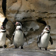 Humboldt Penguin — Stock Photo #1527242
