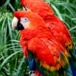 Stock Photo: Scalet Macaw