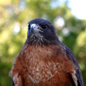 Red Tailed Hawk — Stockfoto