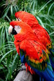 Scalet Macaw — Stock Photo
