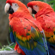 Scarlet Macaw — Photo #1632686