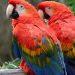 Scarlet Macaw - Stock Photo