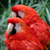 Red Scarlet Macaw — Foto Stock