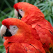 Scarlet Macaw — Photo #1709962