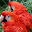 Scarlet Macaw — Stock Photo #1709962