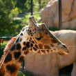 baringo giraffe — Stock Photo