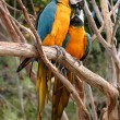 Royalty-Free Stock Photo: Blue And Gold Macaw