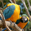 Blue And Gold Macaws — Stock Photo