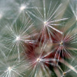 Royalty-Free Stock Photo: Dandelion Seed Head
