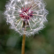 Dandelion Seed Head — Stock Photo