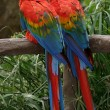 Scarlet Macaws — Stock Photo #1742611