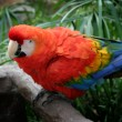 Scarlet Macaw — Stock Photo #1742619