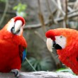 Scarlet Macaws — Stock Photo #1742629
