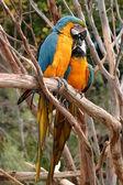Blue And Gold Macaw — Zdjęcie stockowe