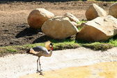 East African Crowned Crane — Stock Photo