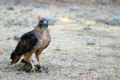 Red Tailed Hawk Catch — Stock Photo