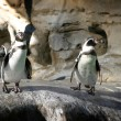 Humboldt Penguin — Stock Photo #1760068