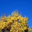 Yellow Autumn Tree - Stock Photo