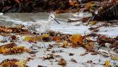 Sandpiper bird running at the shore line — Stock Photo