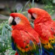 Scarlet Macaws — Stock Photo #1833212