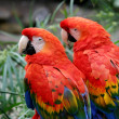 Stock Photo: Scarlet Macaws