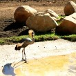 Постер, плакат: East African Crowned Crane