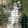 Ring Tailed Lemur — Stock Photo #1859209
