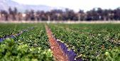 Truskawkowe pole — Zdjęcie stockowe