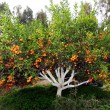 Stock Photo: Tangerine tree
