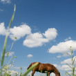 Stock Photo: Horse which is grazed on meadow